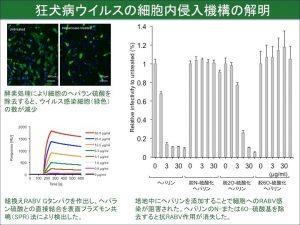 狂犬病ウイルスの細胞内侵入機構を解明