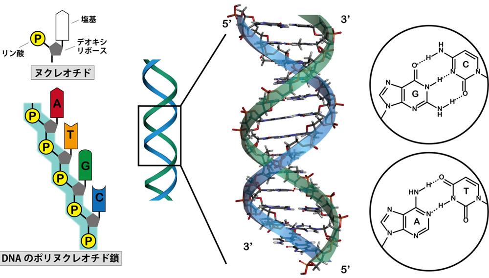 (左図)DNAを構成するヌクレオチド分子の構造。左上のPを中心とした構造がリン酸。5角形の構造がデオキシリボース。Base(塩基)の部分が4種類ある。(右図)2本鎖DNAの模式図。右の丸の中はヌクレオチドの塩基同士が結合している様子を示す構造式。