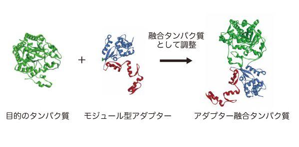 アダプター融合タンパク質の構築概念