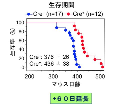 赤がアストロサイトから変異型SOD1を除去したマウス。運動神経細胞から変異型SOD1を取り除いたマウスを示す青と比べて、生存期間が明らかに伸びている。