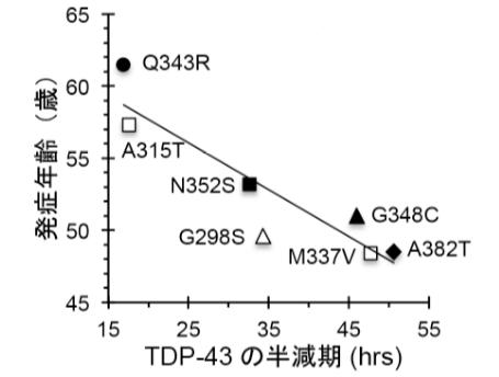 TDP-43の半減期が長くなるほど、発症年齢が低くなっている。すなわちTDP-43タンパク質の半減期は、ALSの発症時期と相関する。