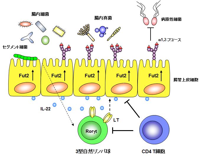 腸管上皮細胞(中央黄色)と腸内細菌(上部)と免疫細胞(下部の緑と青)の関係。セグメント細菌と呼ばれる腸内細菌が免疫細胞に働きかけ、免疫細胞が腸管上皮細胞に対してα1, 2-フコースの発現を誘導する。Fut2とは、α1, 2-フコースを糖鎖に付加する酵素のこと。図版は後藤准教授提供。