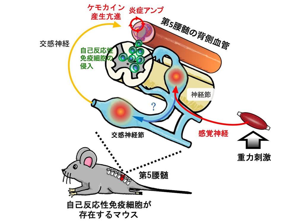 重力によるヒラメ筋の活性化が感覚神経を刺激し、第5腰髄周囲の交感神経を活性化。これによってゲートが形成される。