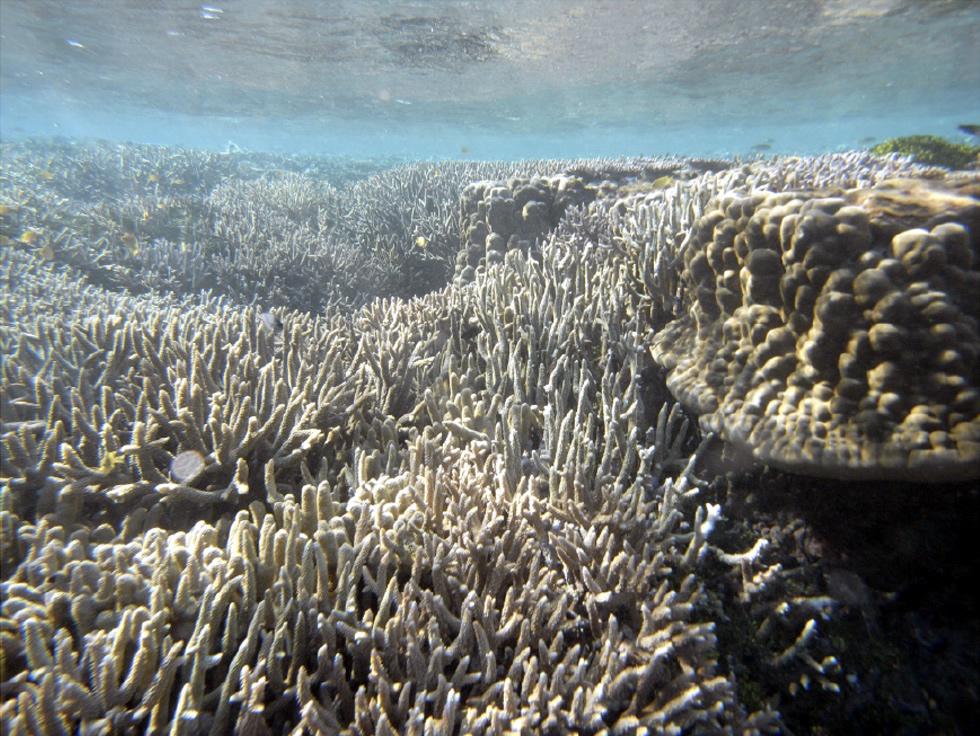 グレートバリアリーフの造礁サンゴ。光合成をする共生藻のために海面近くに棲息するので、かつて棲息していたサンゴの化石から当時の海水準を復元できる。(写真撮影:九州大 菅浩伸教授)