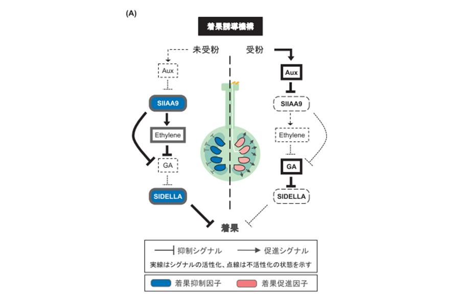 図1:トマトにおける受粉から着果までの流れ。受粉によってオーキシン(Aux)とジベレリン(GA)の合成が活性化し、着果に至る<br />  出典:育種学研究(2017年19巻4号・p139図1Aより転載)