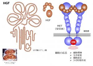 図1:HGFが細胞膜のMET受容体と結合すると、細胞の増殖や遊走、3次元形態形成、生存促進などのスイッチがオンになる。HGFは、697個のアミノ酸からなる高分子タンパク質だ。HGFは、北欧の菓子「クリングル」に似ている構造、「クリングル構造」を4個もっている。
