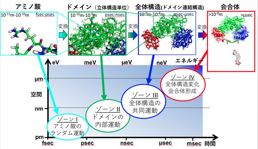 図1 杉山教授らのグループが主な研究対象としているのは、ゾーンⅡ(タンパク質のドメイン構造)、ゾーンⅢ(タンパク質の全体構造)とゾーンⅣ(タンパク質の会合体)である。