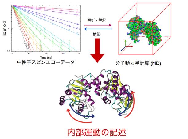 杉山研究室では、測定データを分子動力学計算により解析する手法の確立に取り組んでいる。その最終ゴールは、タンパク質の内部運動の記述、すなわち「見える化」である。