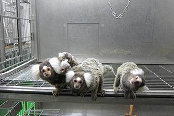 マーモセットの家族。左側のマーモセットの背中には、双子の子どもが乗っている。
