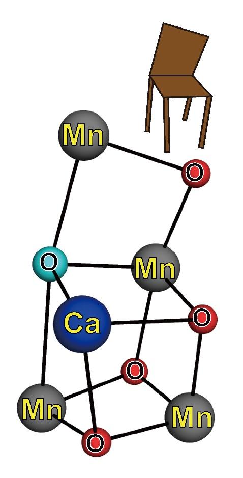 歪んだ椅子構造をとるPSⅡの触媒部位の模式図。水色で塗られた酸素原子(O5)だけが隣の原子との距離が遠いため、歪んだ構造になっている。