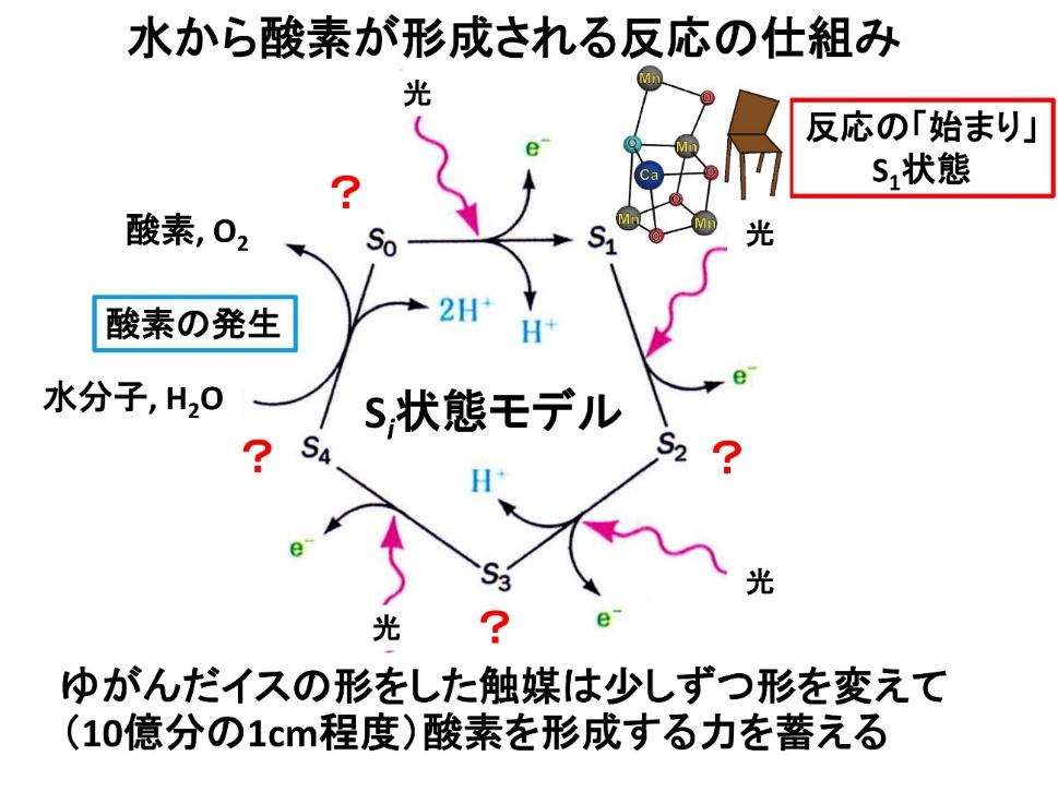 PSⅡで水から酸素が形成される反応の仕組み。PSⅡは、光を吸収するたびに触媒部分の酸化状態が変化して少しずつ形を変えながら酸素を形成する力を蓄える。暗所で安定に存在するS<sub>1</sub>状態から3度光を吸収してS<sub>4</sub>状態に到達すると、酸素が発生してS<sub>0</sub>状態にもどる。